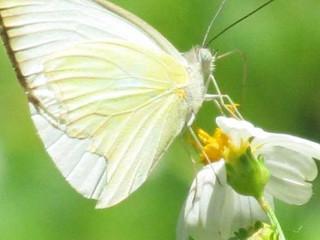 Combate la plaga de mariposas y orugas