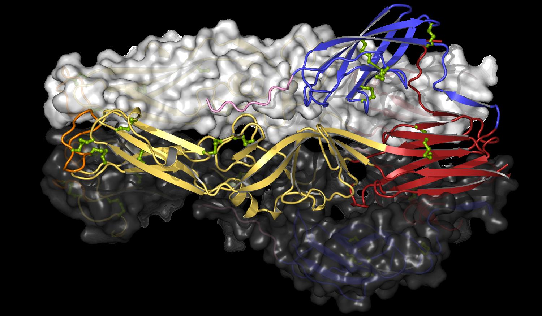 Puumala virus Gc post-fusion trimer