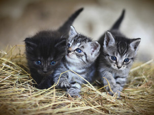 Why you need to spay/neuter your cat