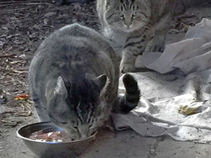 Cats in Surrey and White Rock still going hungry