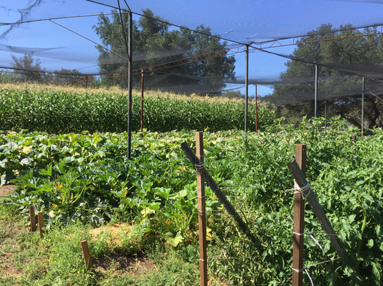 Large Garden with Corn, Squash, and Tomatos