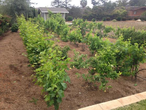 Grape Vineyard Design