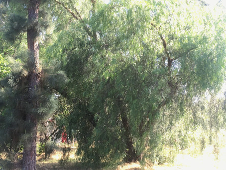 LOVINGLY STARING AT TREES