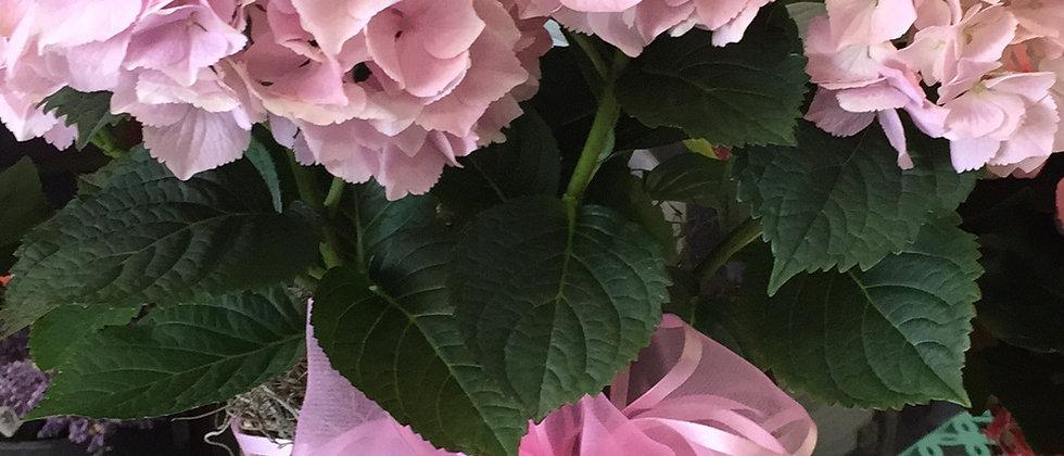 """Hydrangea in 6"""" pot"""
