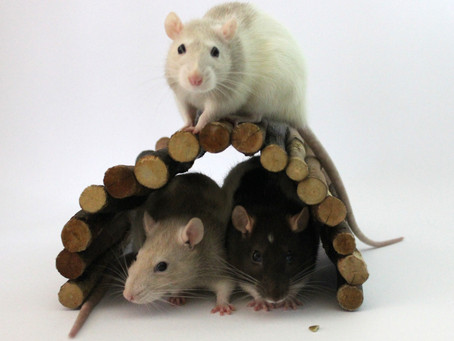 Rat Photography Pointers