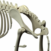 Five Canine hip and joint problems