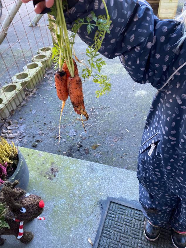 De sidste gulerødder hevet op af jorden