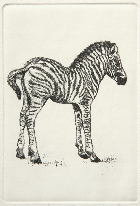 Baby Zebra Etching