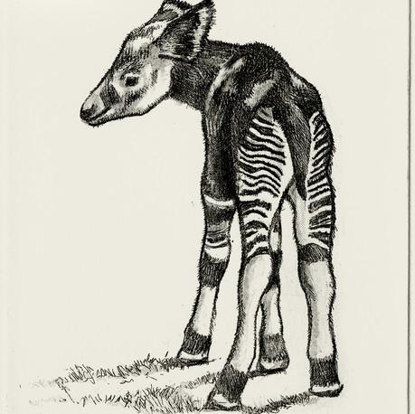 Baby Okapi Etching