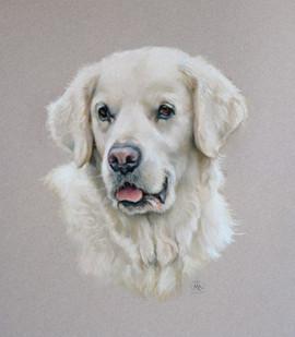 Pastel portrait of a Golden Retriever