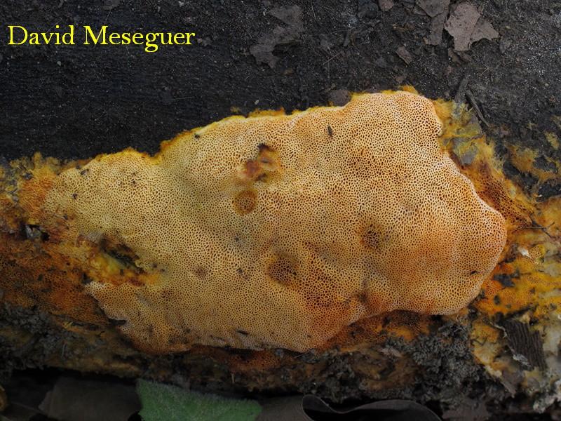 Auriporia aurulenta