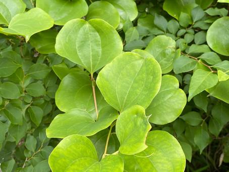 カシワ餅の葉