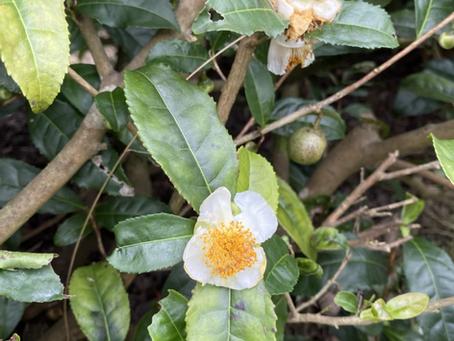 チャノキ(茶の木)の花