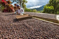 Drying Coffee - Costa Rica