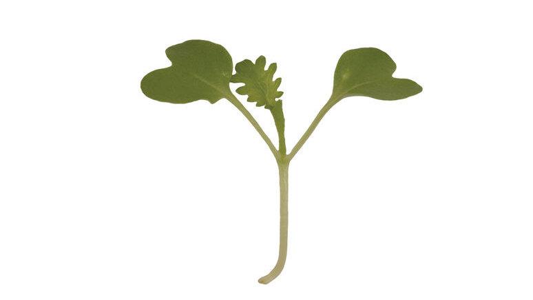 Wasabina Microgreen 1.75 OZ