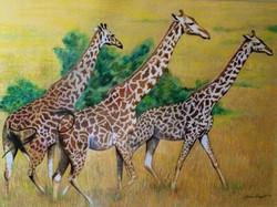 GiraffesMoving