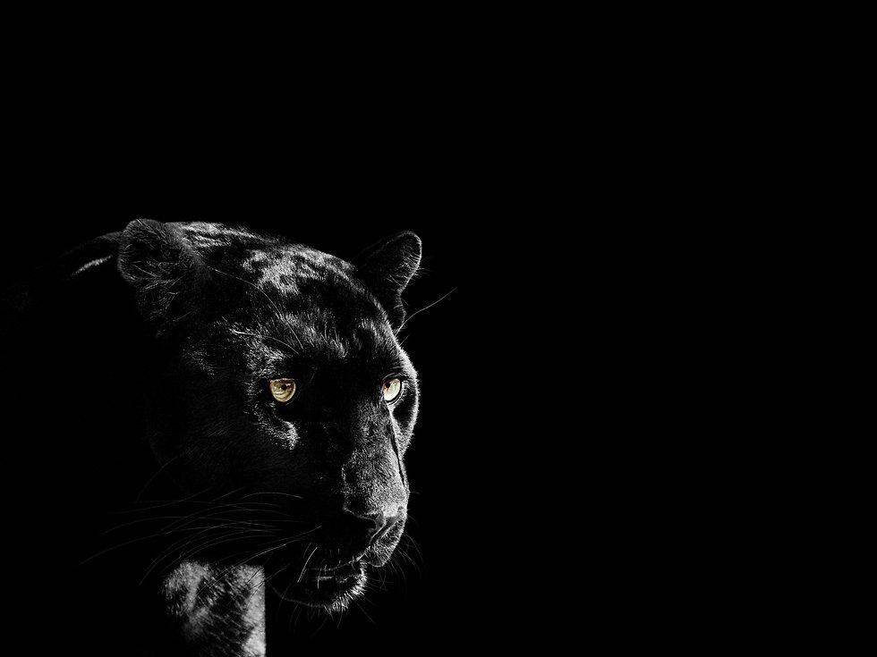 AlanGray_panther.jpg