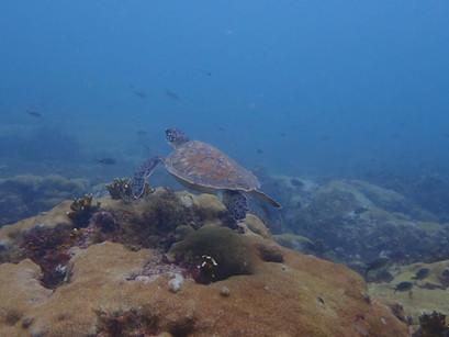 Loggerhead turtles in Cape Verde