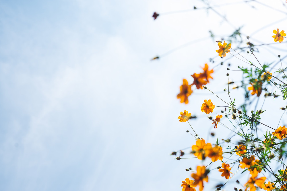 Yellow flowers on the background of a blue sky.