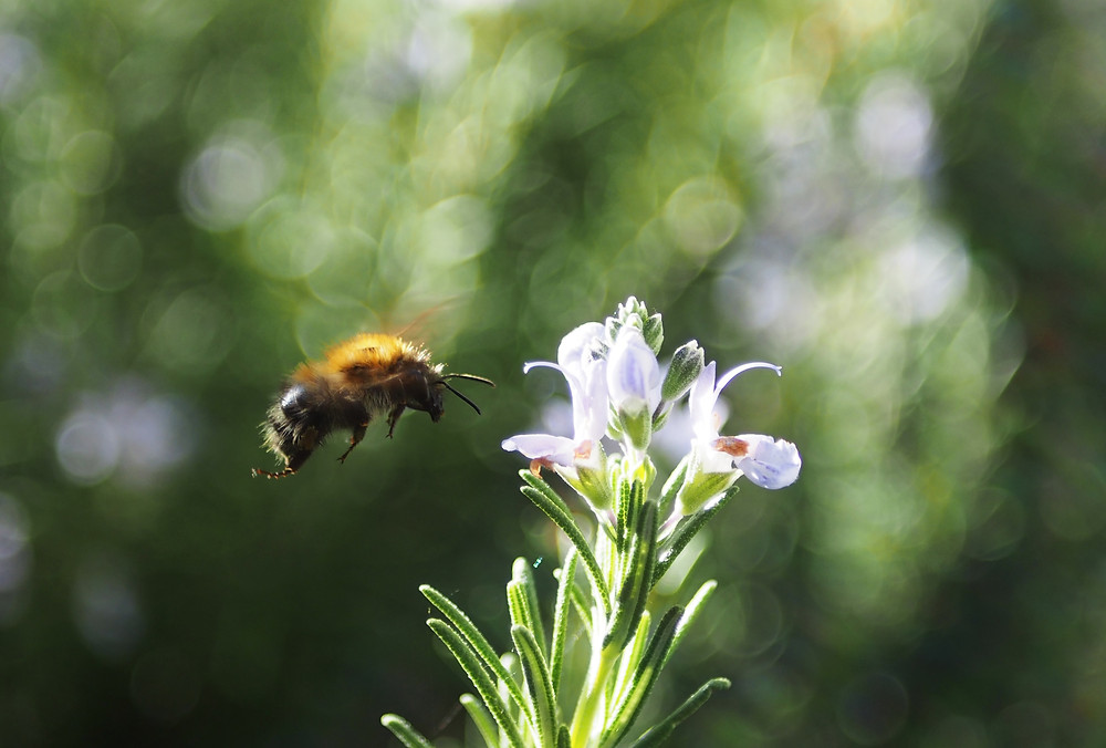 A honeybee collecting pollen from a rosemary blossom.