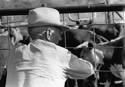 watt looking at cattle.png
