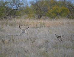 Wildlife%20Buck%20with%20Doe_edited.jpg
