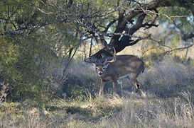 Wildlife Buck 1.jpeg