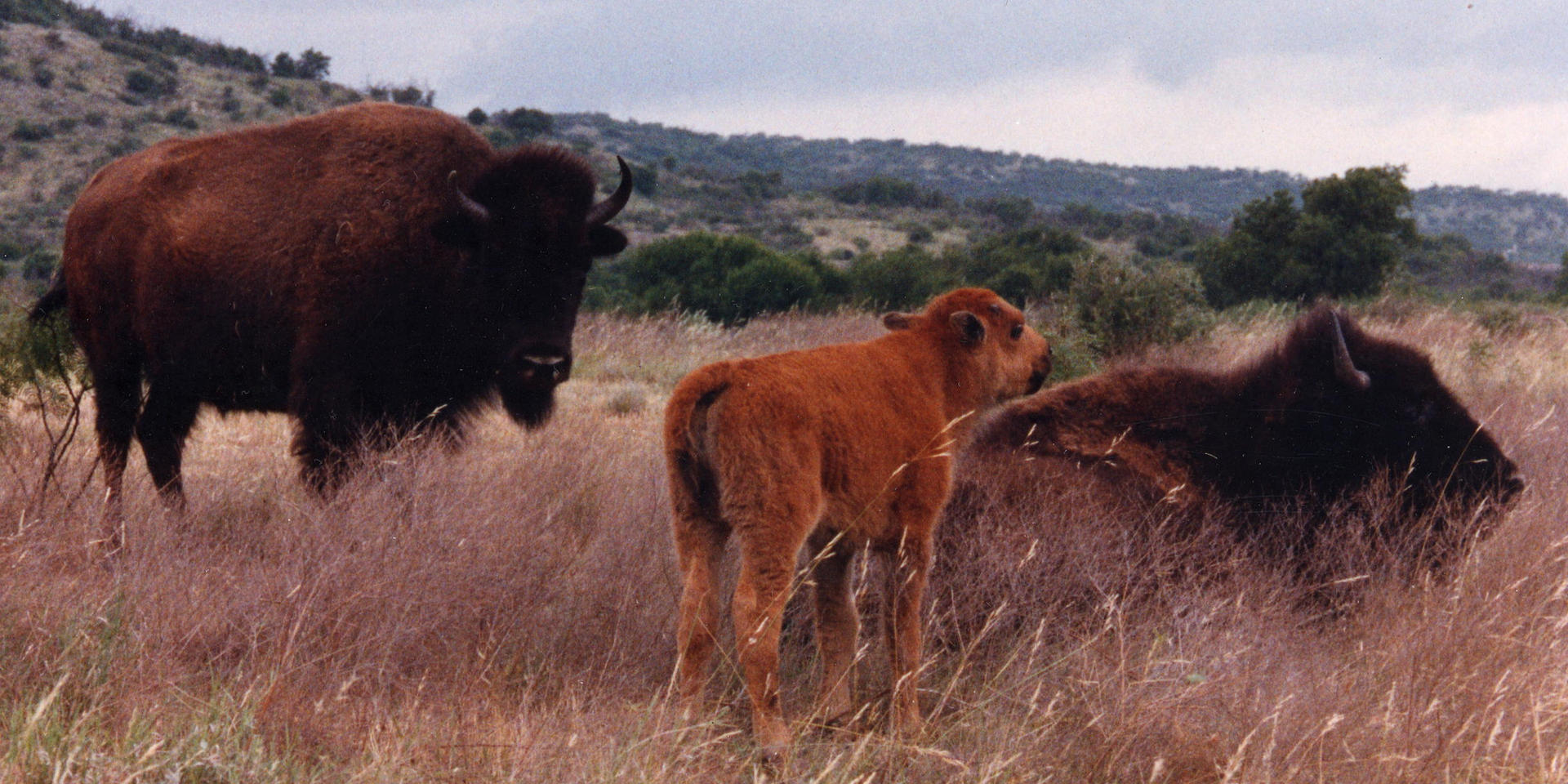 Wildlife Buffalo.jpeg