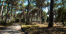 Walking in San Rossore park among centuries old Pine trees