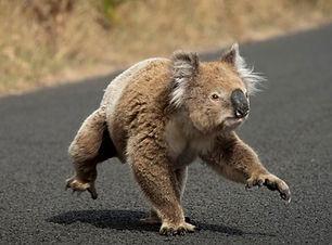 koala furtif.jpeg