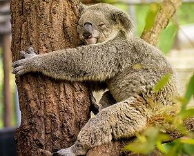 img-koala-hugging-tree-1000px_modifié.jp