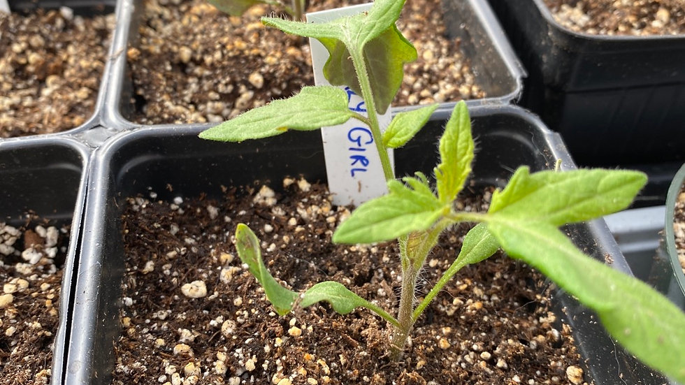 "Tomato ""Early Girl"" - 4"" pot"
