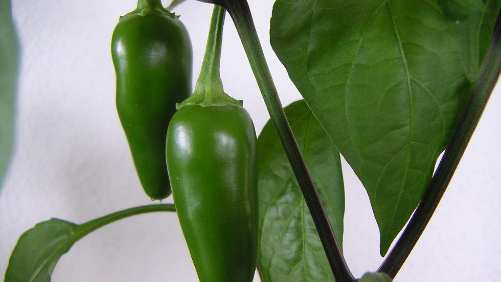 """Pepper - Hot """"Jalepeño"""" - 6"""" pot"""