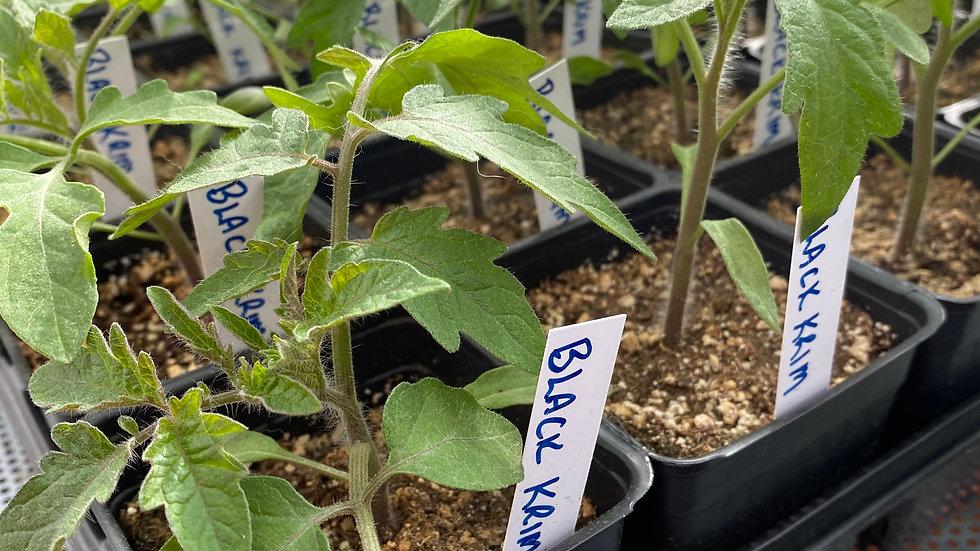 "Tomato ""Black Krim"" - 4"" pot"