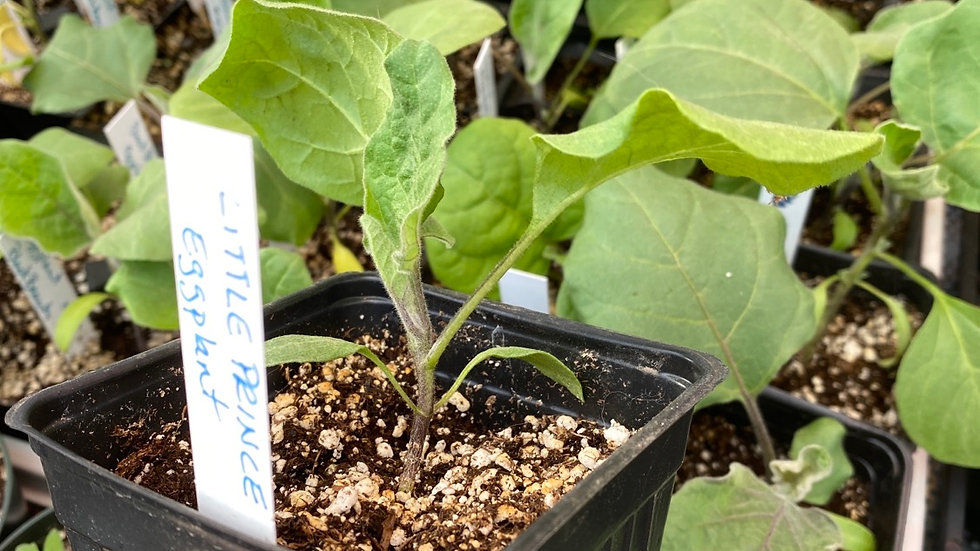 "SOLD OUT Eggplant ""Little Prince"" - 3 1/2"" pot"