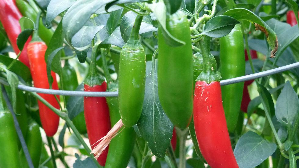 """Pepper - Hot """"Serrano"""" - 6"""" pot"""