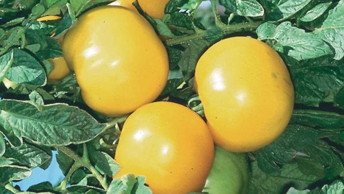 """Tomato """"Lemon Boy"""" 6"""" pot"""