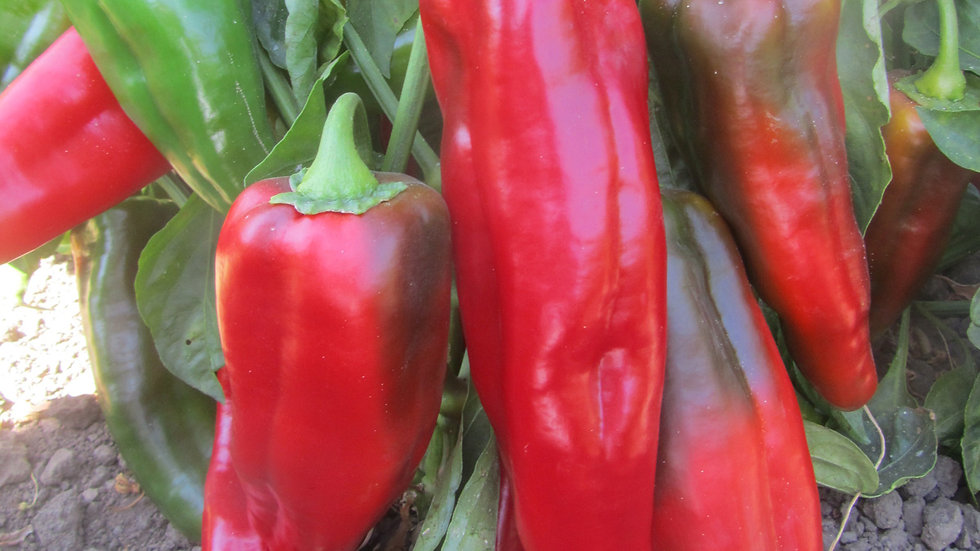 """Pepper - Sweet """"Red Imperator"""" - 6"""" pot"""