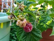 1st banner raspberries.png