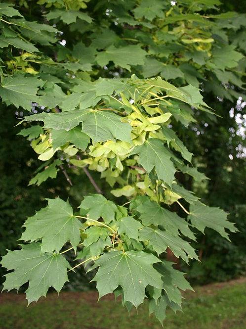 Σφένδαμος Δένδρο (Negundo) Πάχος κορμού 8-10 cm