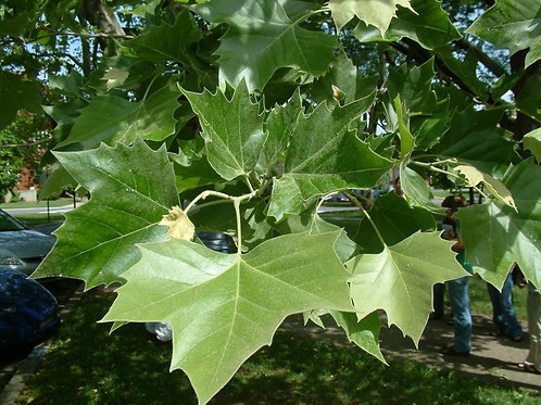 Πλάτανος Γλάστρα 10 L- Ύψος φυτού 1,5-2 m