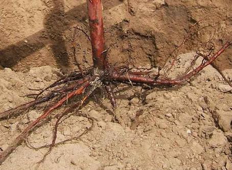 Τι είναι τα γυμνόριζα φυτά?