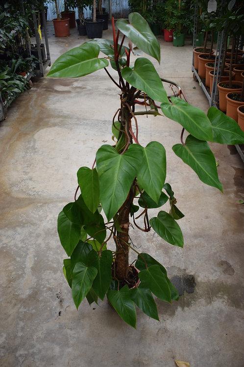 Φιλόδεντρο