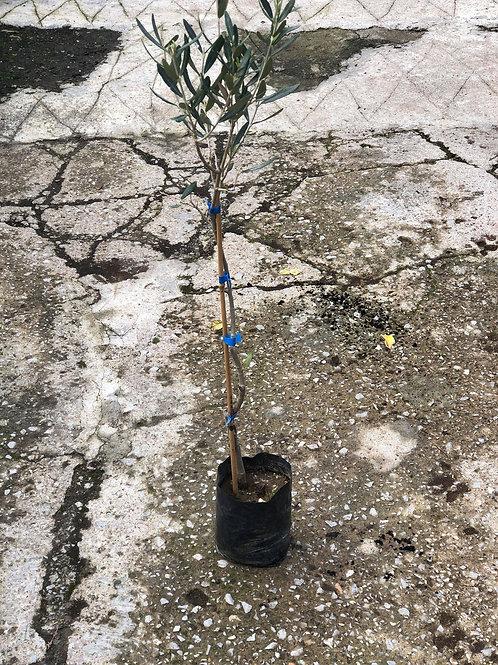 Ελιά Ύψος φυτού 60 cm