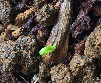 発芽率が高く育てやすいシマトネリコ