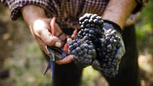 2015 Harvest Report: California/Bordeaux