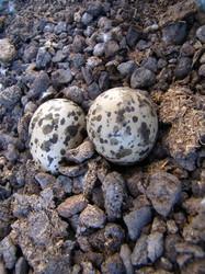ביצים של סיקסק