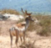 Fallow_deer_israel.jpg