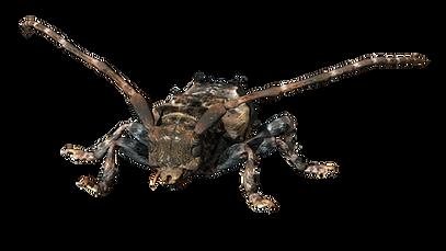Pogonocherus