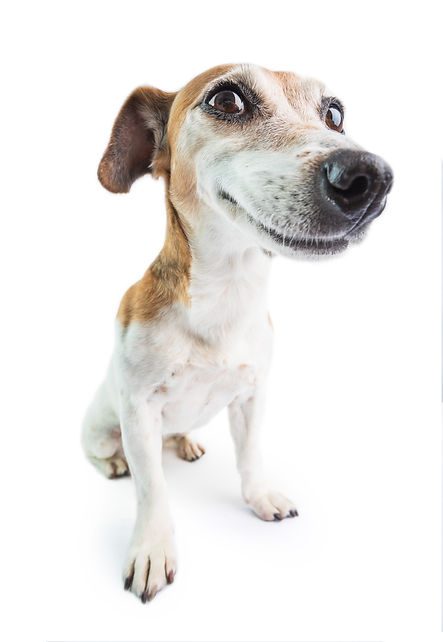 Adorable funny smiling dog. White backgr